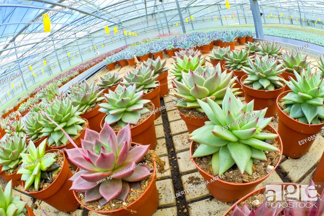 Imagen: Growing Plants Cultivation, Dutch Greenhose, Holland, Netherlands, Europe.