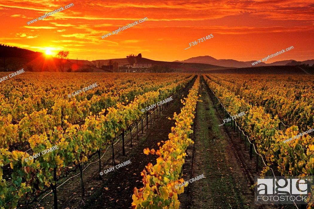 Stock Photo: Vineyards and sunset, Carneros Region, Napa County, California, USA.