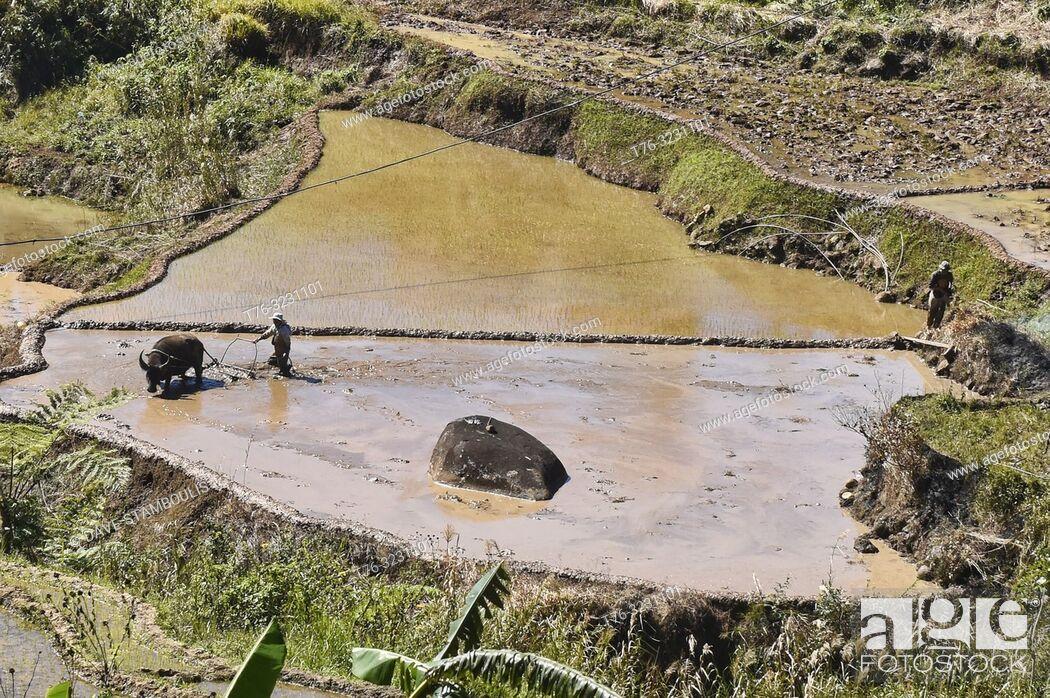 Stock Photo: Rice farming in Fidelisan village, Sagada, Mountain Province, Philippines.