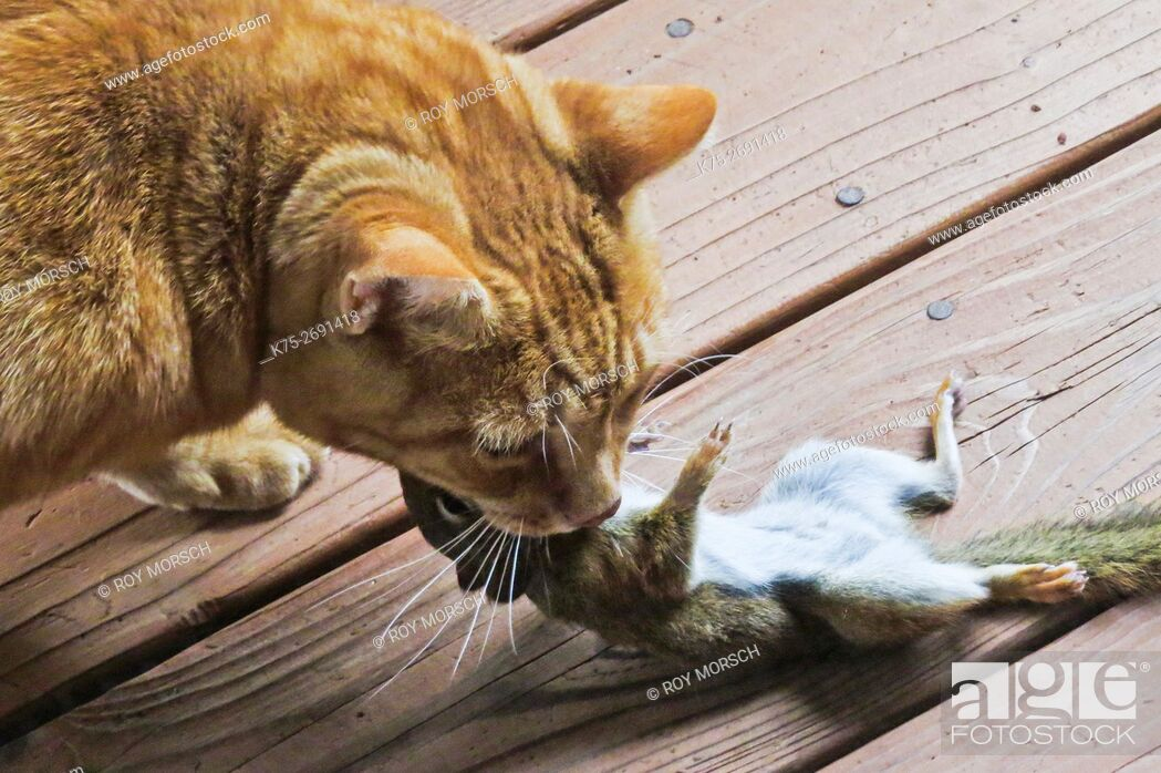 Stock Photo: Cat eating red squirrel.