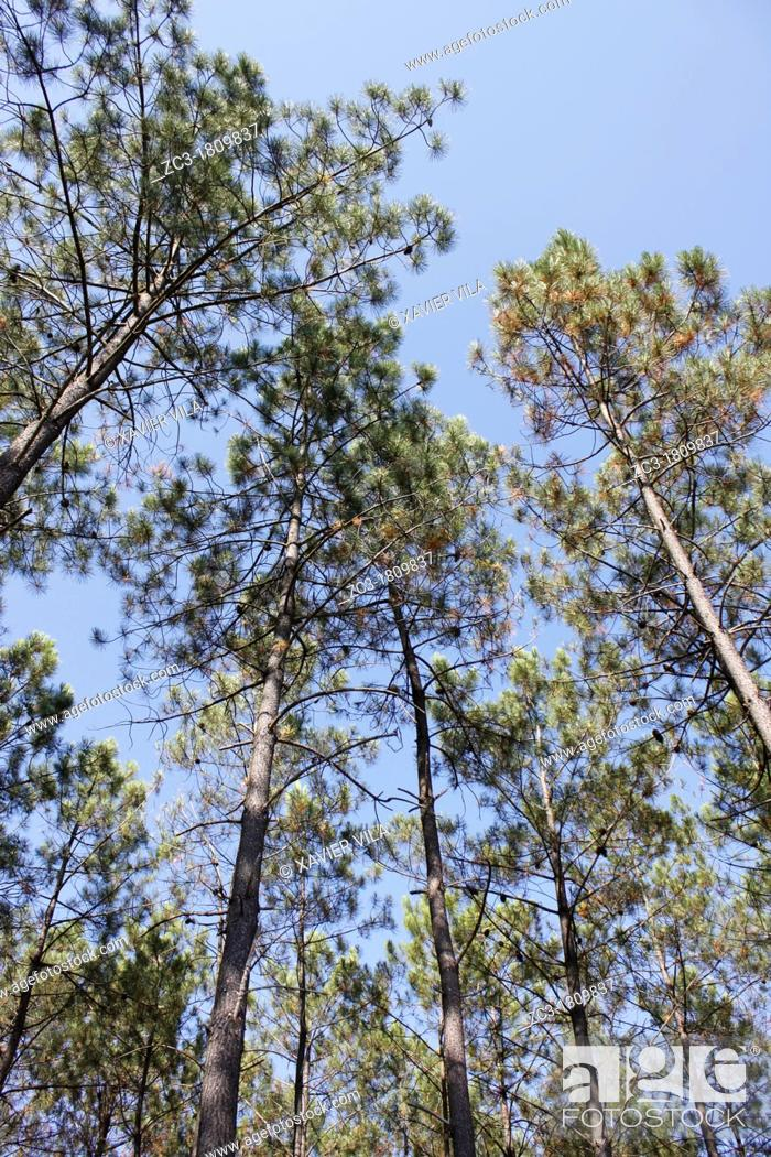 Stock Photo: Forest of Landes, Vieille-Saint-Girons, Aquitaine, France.