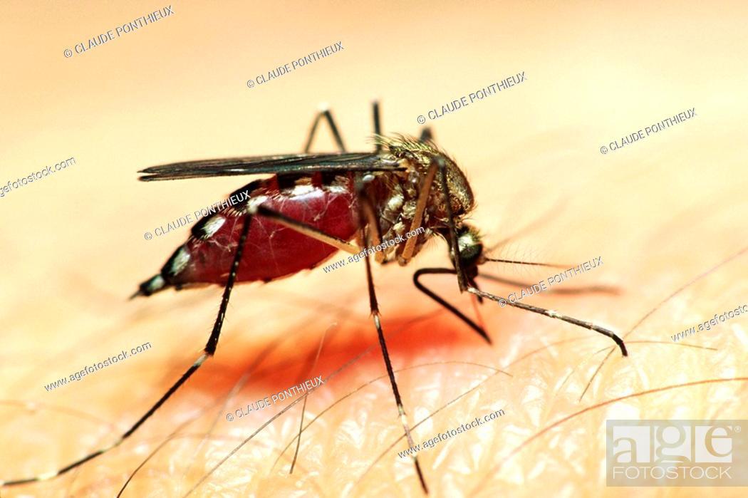 Stock Photo: Mosquito-biting-1.