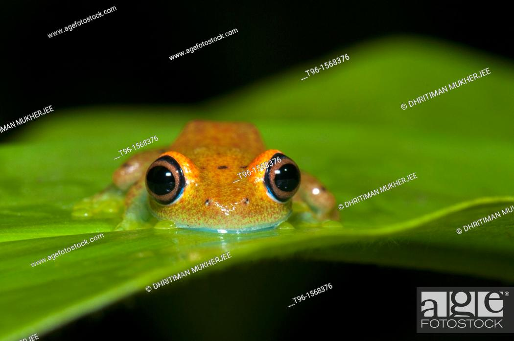 Stock Photo: Blue-eyed treefrog (Boophis viridis). Andasibe, Madagascar.