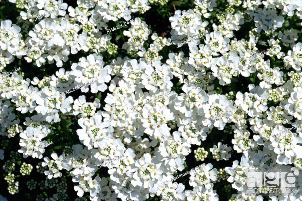White flowers of candytuft iberis sempervirens in may in devon stock photo white flowers of candytuft iberis sempervirens in may in devon england mightylinksfo