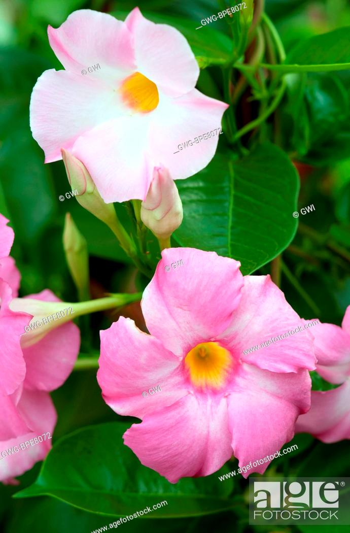 Mandevilla Sun Parasol Giant Pink Stock Photo Picture And Rights