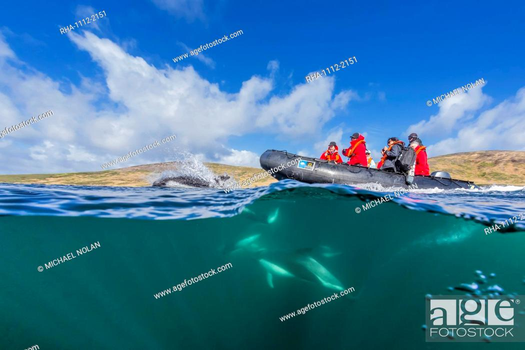 Stock Photo: Adult Peale's dolphin (Lagenorhynchus australis) bow riding a Lindblad Expeditions Zodiac above and below water near New Island, Falkland Islands.