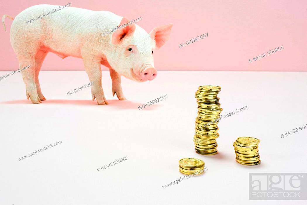 Photo de stock: Piglet looking at stack of gold coins in studio.