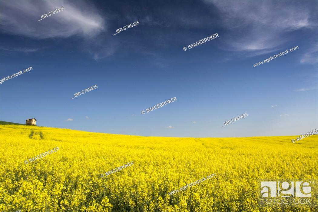 Stock Photo: Flowering rape field, Limagne, Department of Puy de Dome, Auvergne Rhone Alpes, France, Europe.