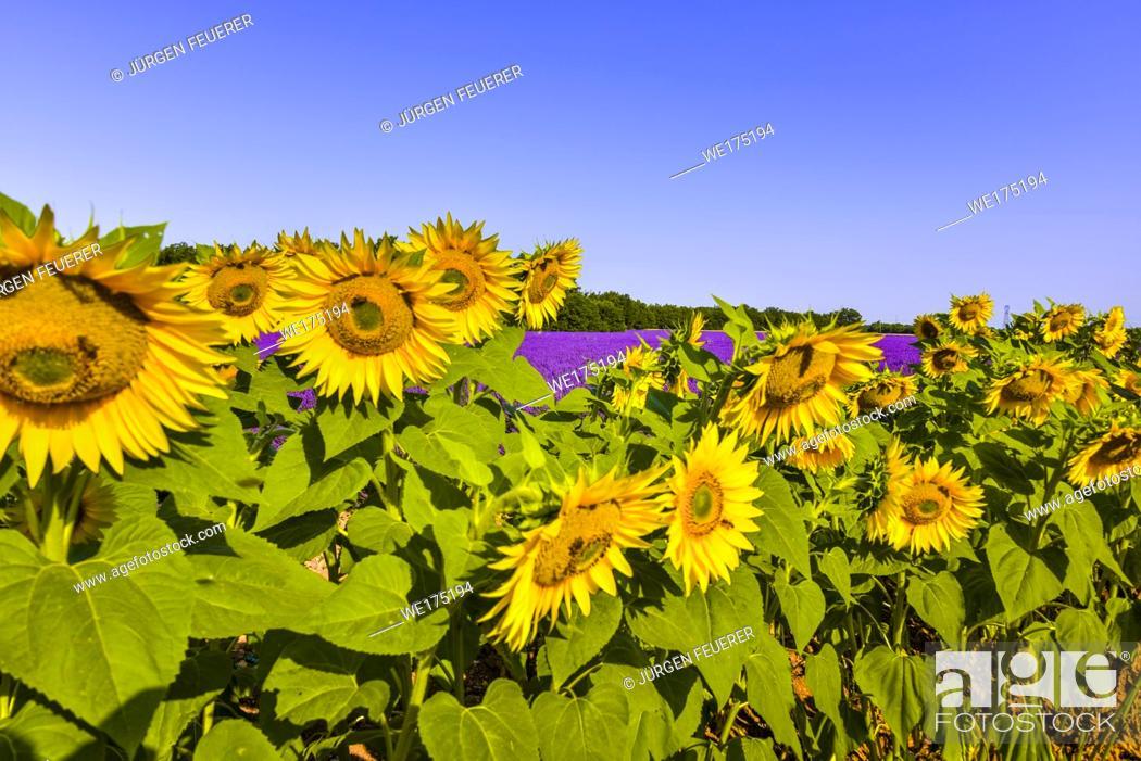 Stock Photo: lavender fields with sunflowers, Provence, France, near Sainte-Croix-du-Verdon, department Alpes-de-Haute-Provence, region Provence-Alpes-Côte d'Azur.