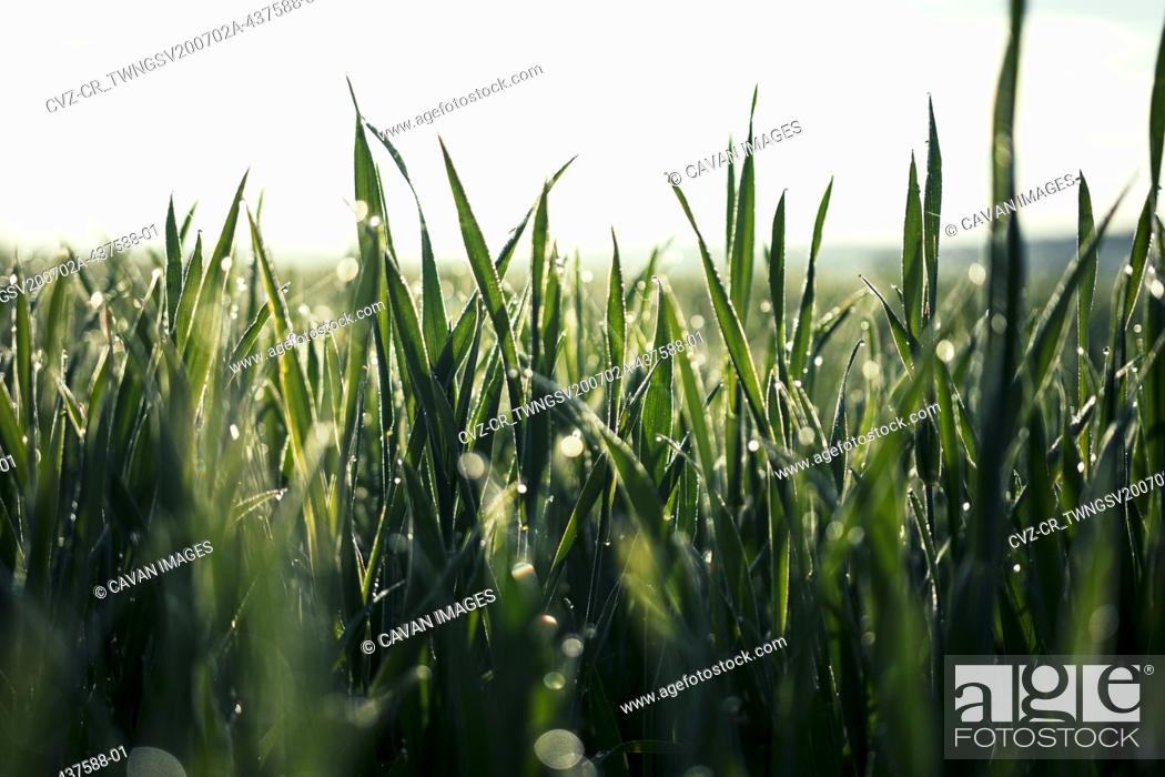 Stock Photo: Beautiful Close Up of Rich Green Grass in Morning Light with Rain or Dew Water Drops and Bokeh.