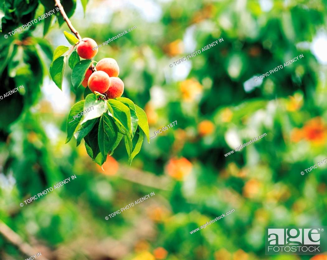 Stock Photo: Apricots Hanging On The Tree,Korea.