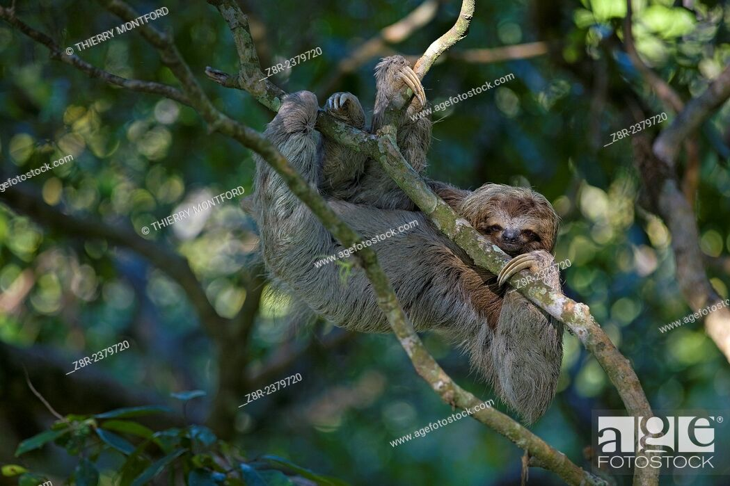 Stock Photo: Bradypus variegatus. Sloth moving in the high branches. Costa Rica.