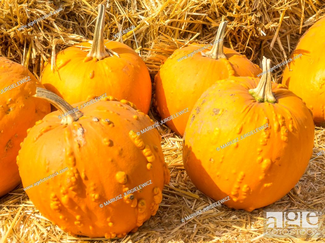Stock Photo: Knucklehead pumpkins are bright to deep orange in color and covered in varying amounts of warts, scabs or bumps.