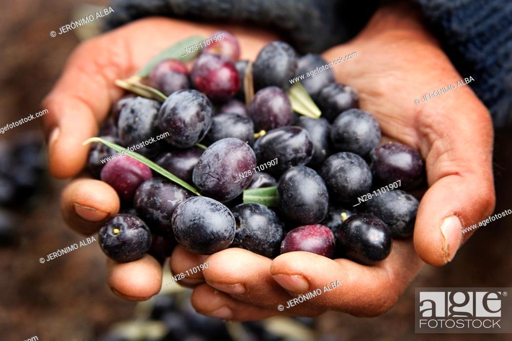 Stock Photo: Picking olives.