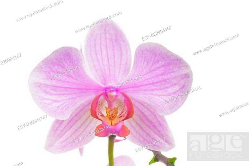 Stock Photo: Pink orchid isolated on white background.