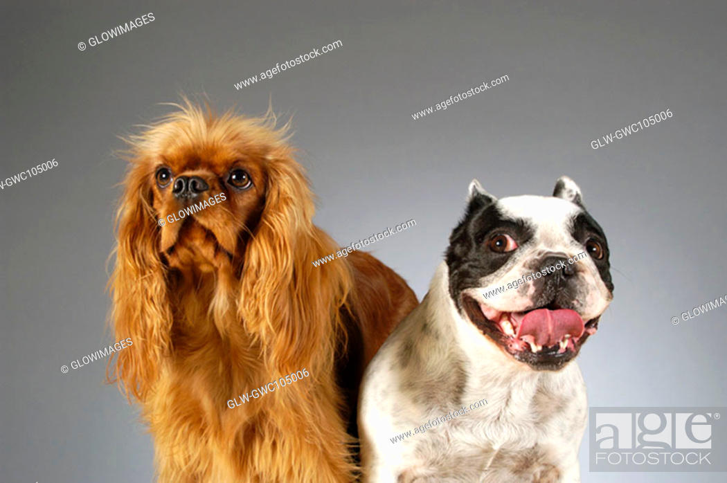 Stock Photo: Close-up of two Boston Terriers.