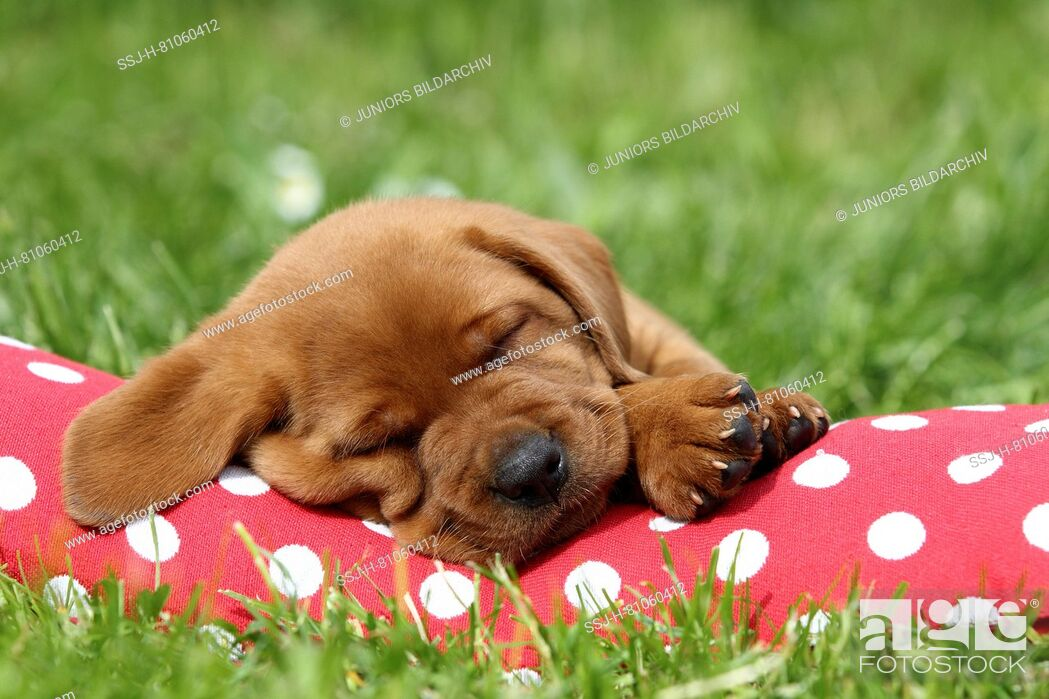 Stock Photo: Labrador Retriever. Puppy (6 weeks old) sleeping on a red cushion with white polka dots. Germany.