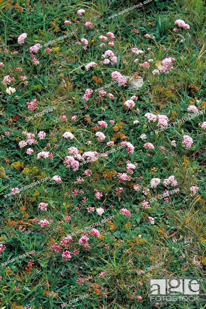 Stock Photo: Asperula aristata subsp. Oreophila in flower.