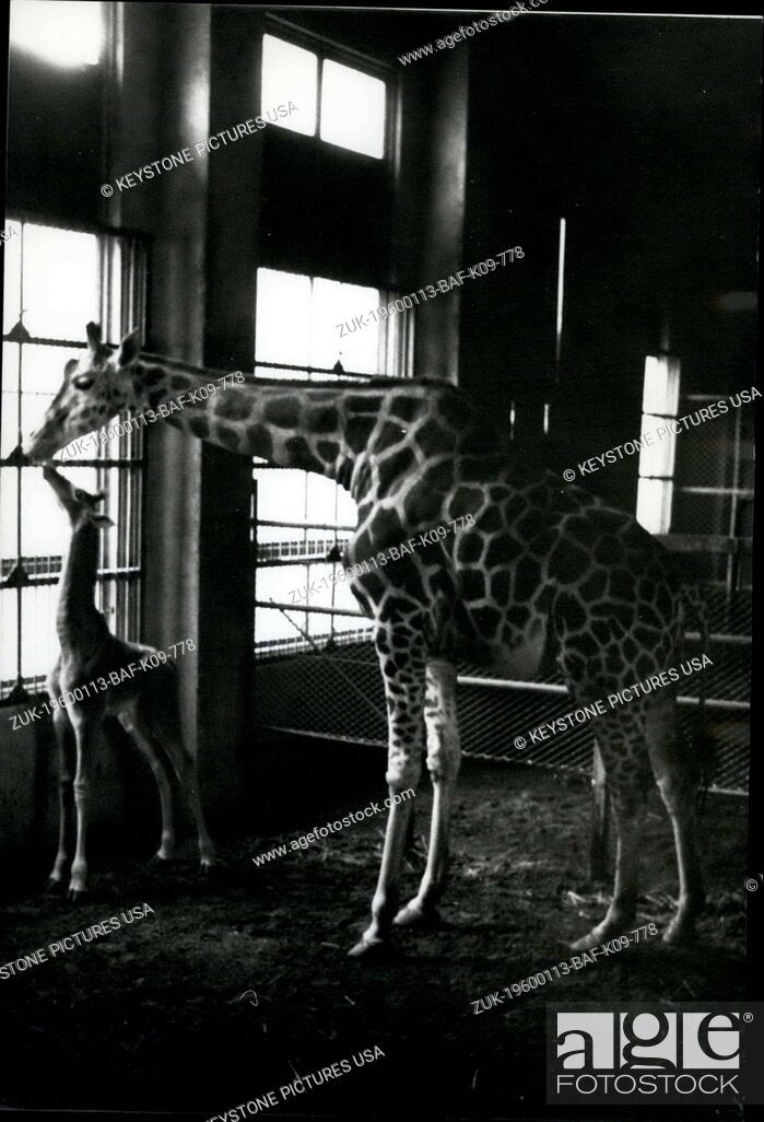 Imagen: 1962 - Spotless Giraffe born in Tokyo.: A spotless baby giraffe has been born at Ueno Zoo in Tokyo. THe rare little animal has none of the usual markings of the.