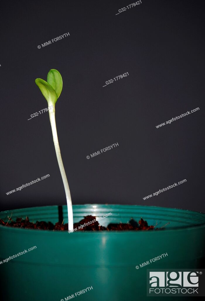 Imagen: Sunflower sprouted from seed.