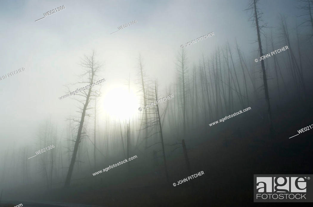 Stock Photo: Yellowstone National Park, burned trees with ground fog.