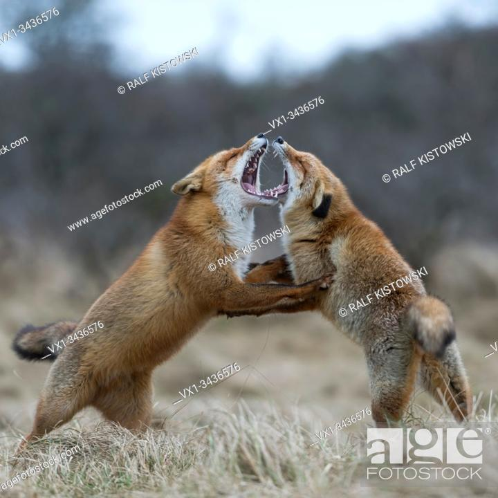 Stock Photo: Red Fox ( Vulpes vulpes ), two adults, standing on hind legs, threatening each other with wide open jaws, territorial behavoir during rut, wildlife, Europe.