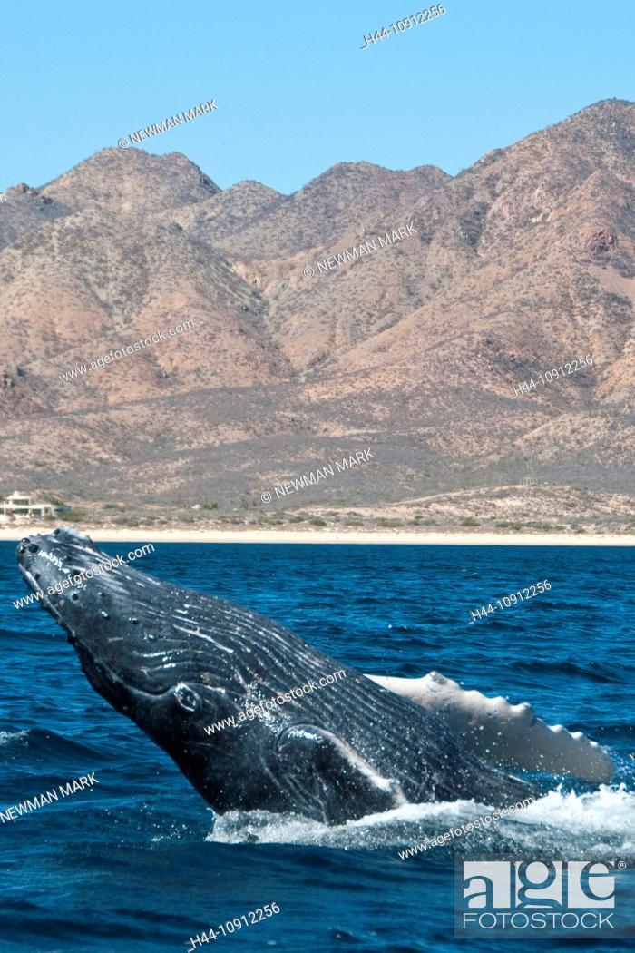 Stock Photo: humpback whale, whale, animal, megaptera novaeangliaecabo pulmo national marine.