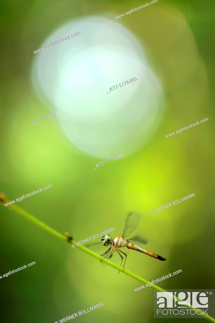 Stock Photo: Dragonfly, Tanjung Puting National Park, Province Kalimantan, Borneo, Indonesia.