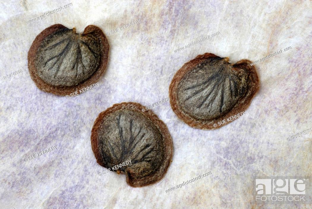 Photo de stock: Lunaria annua, Honesty.