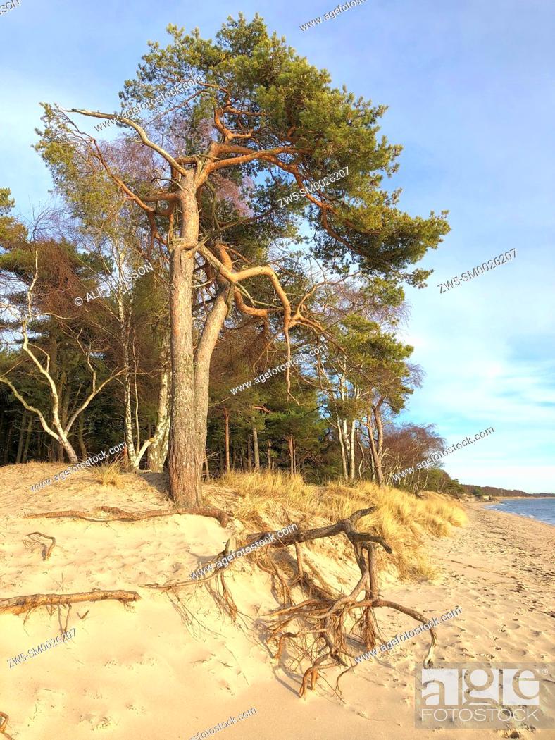 Imagen: Aerial roots on the beach in Ystad, Sweden, Scandinavia.