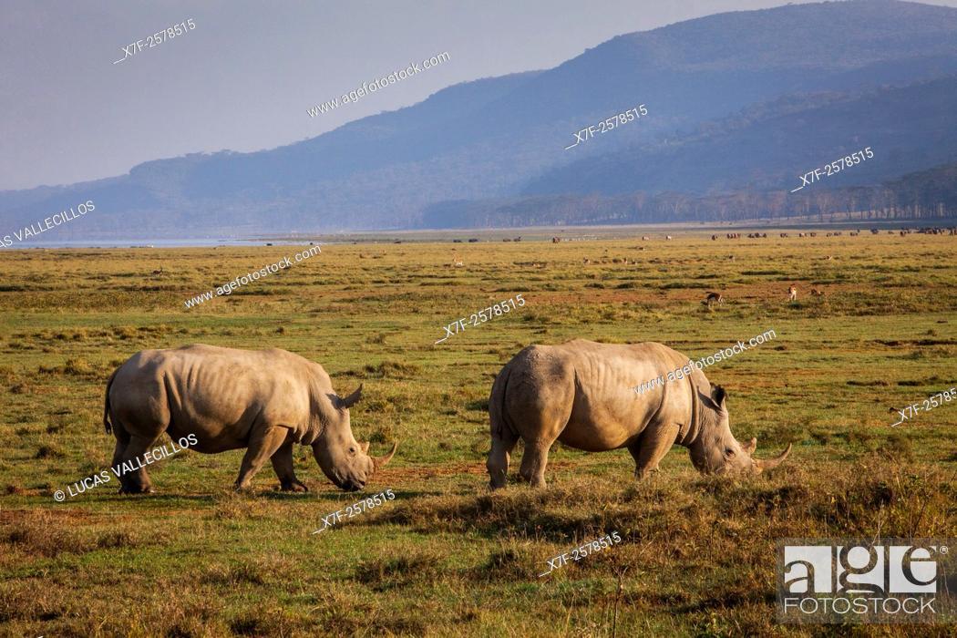 Stock Photo: White rhinoceros (Ceratotherium simum), Lake Nakuru National Park, Kenya.