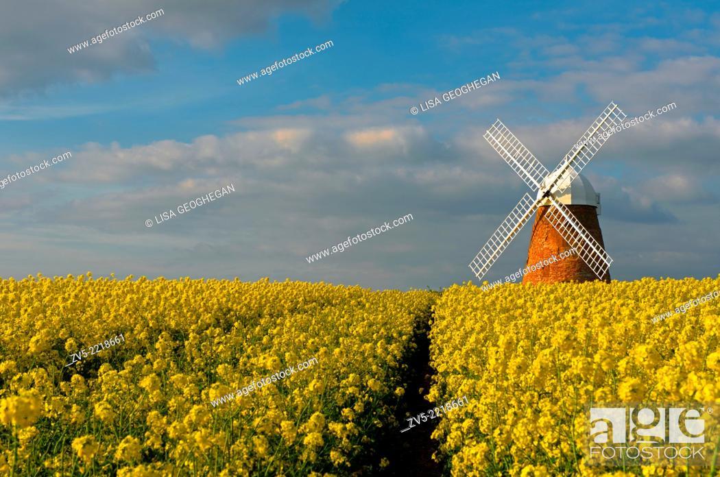 Imagen: The Halnaker Windmill amonst Rapeseed- Brassica napus, Halnaker, Chichester, West Sussex, England, Uk.