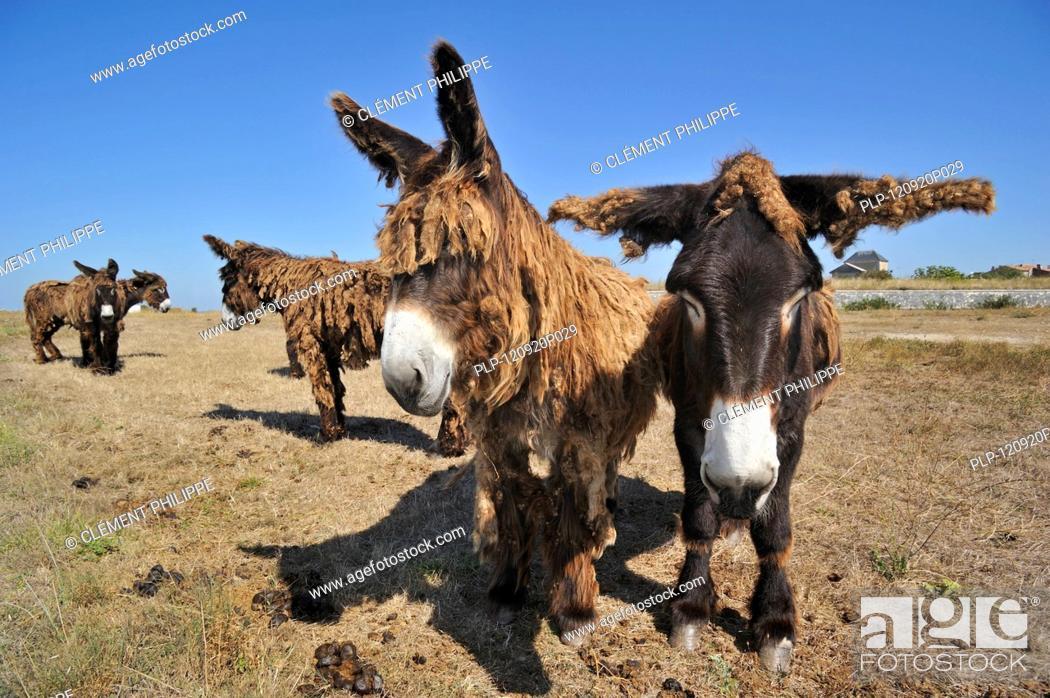 Stock Photo: Poitou donkey / Poitevin donkeys / baudet de Poitou with shaggy coat in field on the island Ile de Ré, Charente-Maritime, France.