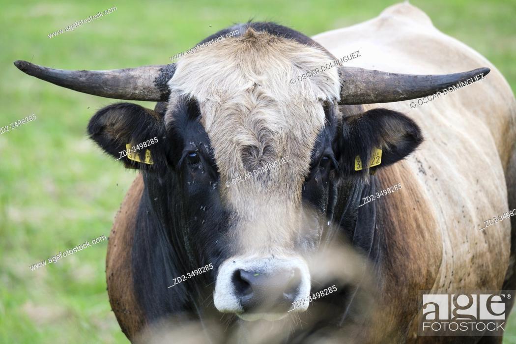 Stock Photo: Domestic cattle (Bos taurus) portrait. Nemunas Delta. Lithuania.