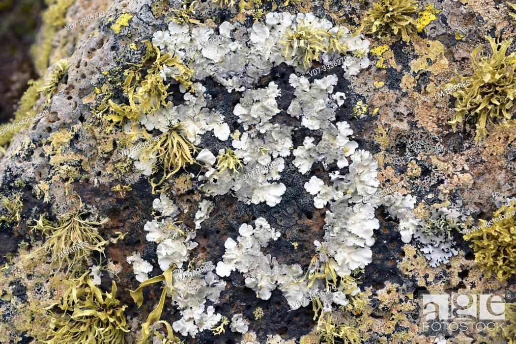 Stock Photo: Parmelia tiliacea or Parmelina tiliacea (grey) a foliose lichen, surrounded by Ramalina sp. a fruticulose lichen. This photo was taken in Lanzarote Island.
