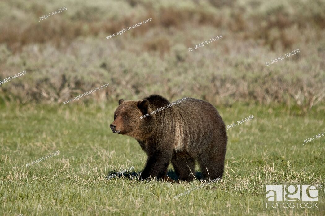 Stock Photo: Grizzly Bear (Ursus arctos horribilis), Yellowstone National Park, UNESCO World Heritage Site, Wyoming, United States of America, North America.