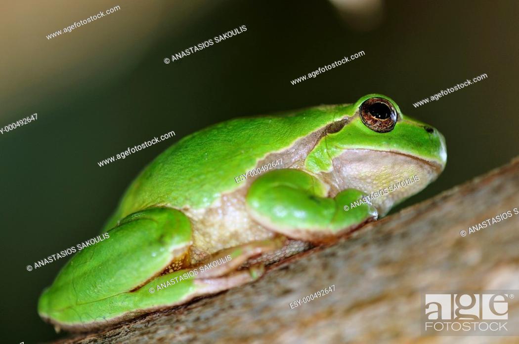 Imagen: Common Treefrog (Hyla arborea kretensis) is quite common on Crete.