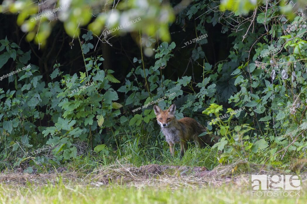Stock Photo: Red fox (Vulpes vulpes), Summer, Hesse, Germany, Europe.