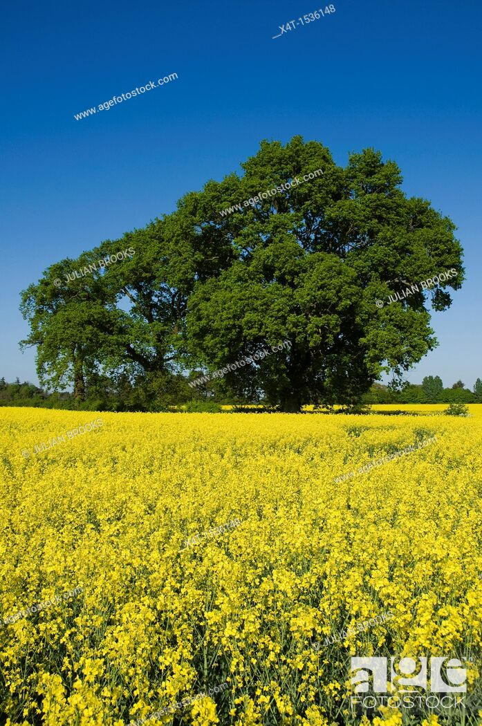 Stock Photo: Trees and yellow rape seed field in Oxfordshire, blue sky, sunshine, Brassica Napus.