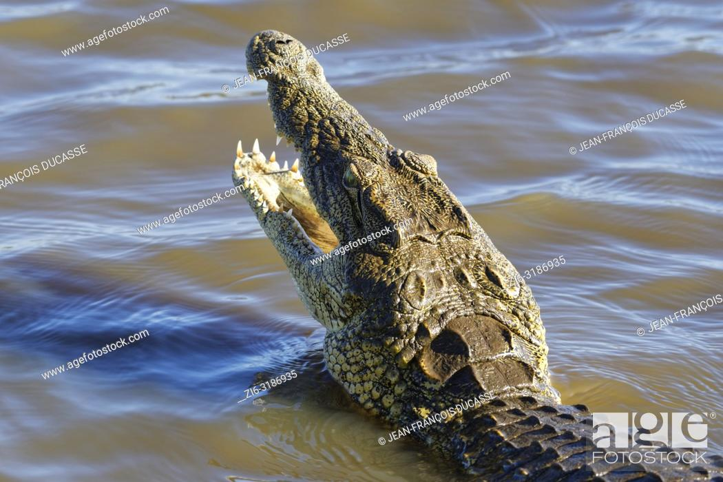 Stock Photo: Nile crocodile (Crocodylus niloticus) in shallow water, head raised out of the water, gaping mouth wide open for thermoregulation, Sunset Dam.
