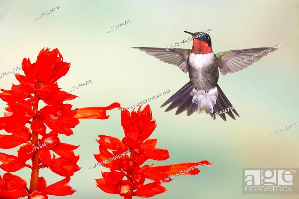 Stock Photo: Ruby-throated Hummingbird Archilochus colubris Male At Salvia Salvia coccinea 'Scarlet Sage'.