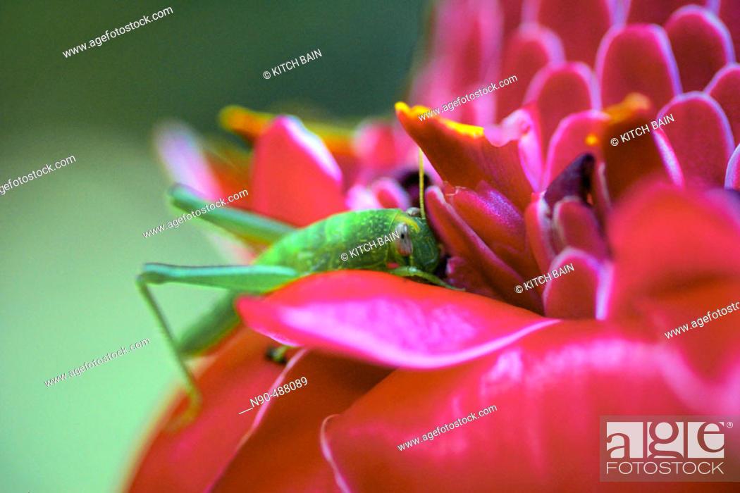 Stock Photo: Cricket on ginger flower.