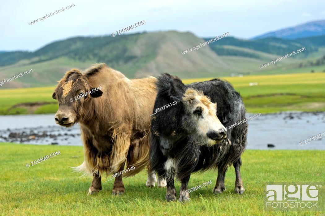 Stock Photo: Zwei Yaks (Bos mutus) mit langem zottigen Fell, Orchon-Tal, Khangai Nuruu Nationalpark, Oevoerkhangai Aimag, Mongolei / Two Yaks (Bos mutus) with long shaggy.