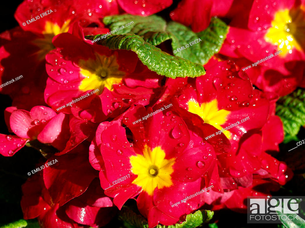 Stock Photo: Primrose (Primula sp.).
