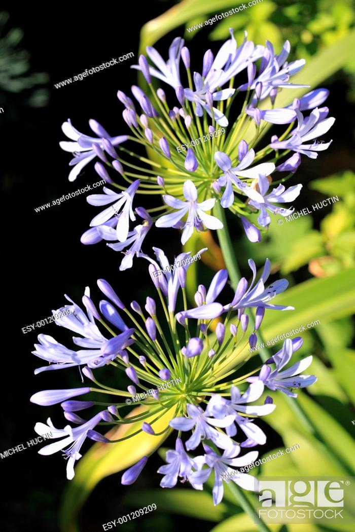 Stock Photo: agapanthus or lily of the Nile, Bulb, tuberous blue, Agapanthus family Liliaceae.
