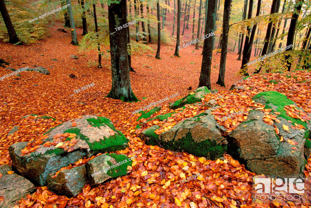 Stock Photo: Sweden, southern site, birch forest in the fall.