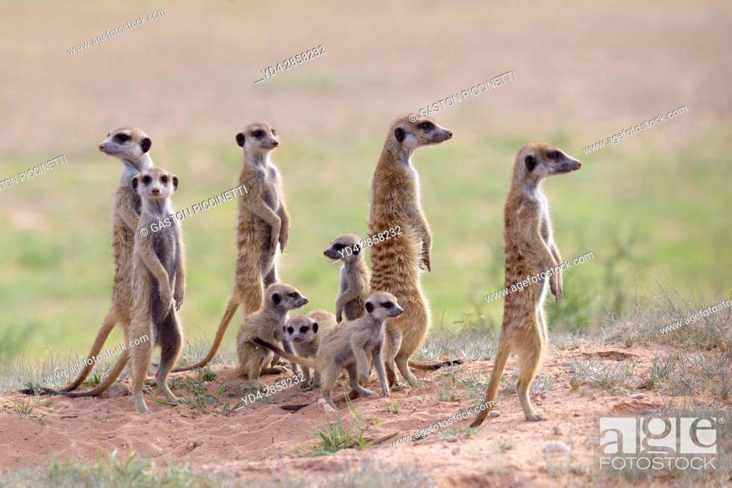 Stock Photo: Suricate (Suricata suricatta), alert to the possible attack of a predator. While watching the rest of the group is dedicated to hunt all kinds of insects.