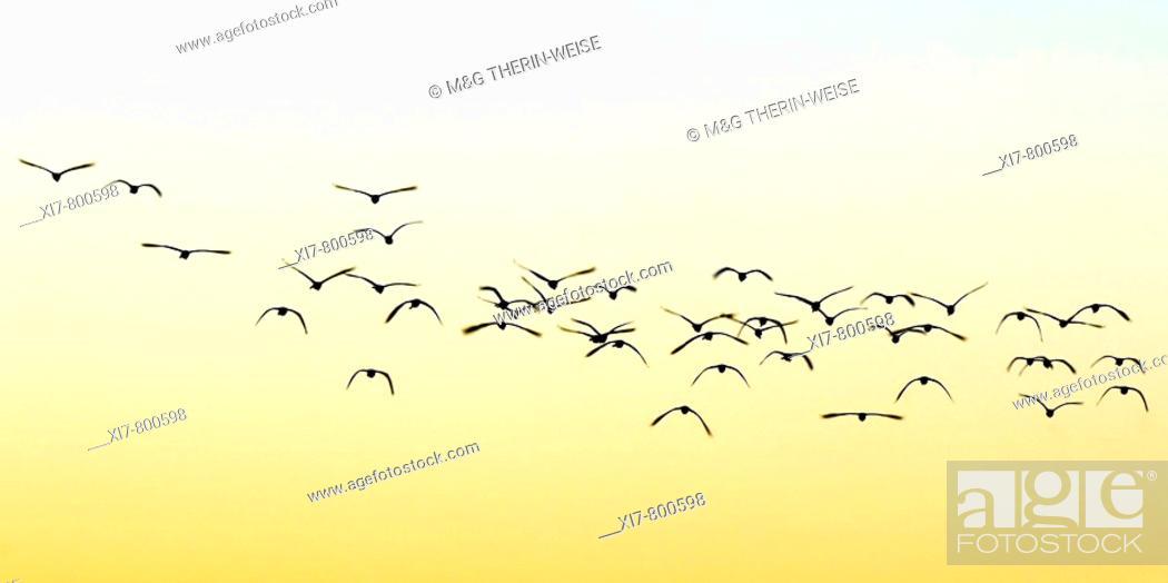 Stock Photo: Flock of birds at sunset, Kaziranga National Park, UNESCO World Heritage Site, Assam, India.