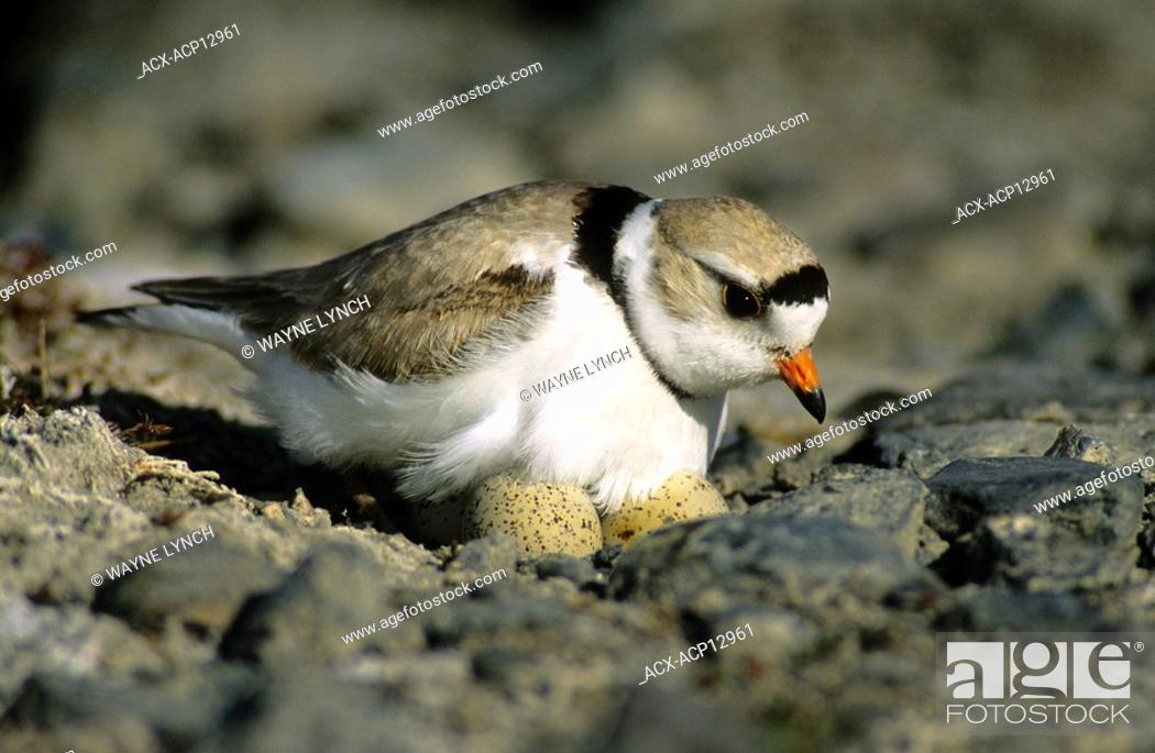 Stock Photo: Incubating adult piping plover Charadrius melodus, aspen parklands, east-central Alberta, Canada.