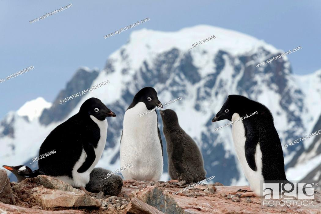 Stock Photo: Adélie Penguins (Pygoscelis adeliae), parent birds with chicks standing in front of mountain scenery.